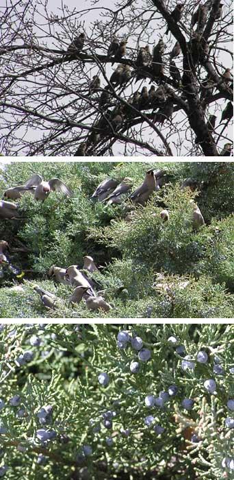 cedar waxwings on our juniper